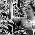 Woman harvesting the &quot;spaghetti tree&quot;