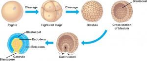 Embryonic tissue development in animals